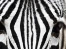Inspiration illusion deco zebre